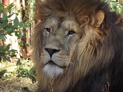 """Simba the Lion • <a style=""""font-size:0.8em;"""" href=""""http://www.flickr.com/photos/152934089@N02/36904232644/"""" target=""""_blank"""">View on Flickr</a>"""