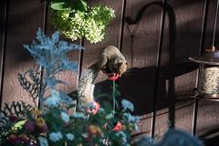 almost balanced (Dotsy McCurly) Tags: squirrel balance balancing fun funny cute bird feeder food seeds yard garden nature beautiful nikond750 2803000mmf3556 nj newjersey 7dwf almost crazytuesdaytheme