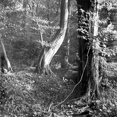 Mamiya 390 (salparadise666) Tags: mamiya c330 sekor 80mm orange filter fomapan 10064 caffenol rs 13min nils volkmer vintage camera film analogue medium format 6x6 square landscape nature dreamy tree detail mood autumn hannover region niedersachsen germany