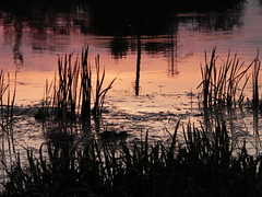Prosna River 6: Mallards behind the Reeds. Kalisz, Poland (kachigarasu PL (busy)) Tags: 水に映る 反映 reflection wielkopolska ポーランド カリシュ ヴィエルコポルスカ evening 風景 木 trees landscape tree kalisz prosna river 川 プロスナ川 prosnavalley dolinarzekiprosny poland birds bird duck ducks 鳥 夕暮れ 日没 sunset reeds reed 葦 夕焼け シルエット silhouette 鴨 dusk twilight polska panasonicdmcfz15 野鳥 greaterpoland takenbywr kaczkakrzyżówka マガモ mallard anasplatyrhynchos kaczka waves wave glow