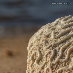 Brain Coral From Haiti (strjustin) Tags: macromondays souvenir macro beach coral beautiful sand