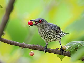 Asian Glossy Starling (juv) _ Hougang ☺