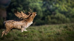 Fallow Deer (Jez Nunn) Tags: fallowdeerwildlifenatured7200bucksussexstag