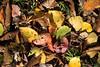 autunno (Giovanni Carlo Pagani) Tags: autunno foglie colori lessini sottobosco