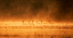 Cygnes en feu sur l'étang X-T2 XF100-400 (Denis.R) Tags: cygnetuberculé lumière automne étang affût affutflottant france lorraine moselle denisr denisrebadj wwwdenisrebadjcom libre sauvage free wildlife cygnusolor muteswan