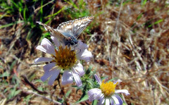 Checkered skipper on Pacific aster (TJ Gehling) Tags: insect lepidoptera butterfly hesperiidae skipper checkeredskipper commoncheckeredskipper pyrgus pyrguscommunis plant flower asterales asteraceae aster pacificaster symphyotrichum symphyotrichumchilense asterchilense canyontrailpark elcerrito