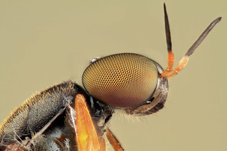 Studio macro: Soldier fly