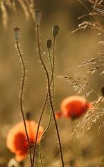 *** (pszcz9) Tags: przyroda nature natura kwiat flower zbliżenie closeup mak poppy bokeh beautifulearth sony a77