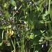 Solanum dulcamara. Bardsey withybed