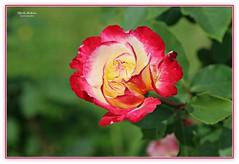 oh, what wonder!  [Explore] (MEA Images) Tags: rose flower garden bloom flora nature roses flowers canon pointdefiancepark tacoma washington picmonkey
