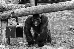 Gorilla (Stijn Daniels) Tags: gorilla monkey aap pairi daiza dierentuin zoo zwartwit zwart wit blackandwhite black white animal canon rebel 600d 70200f4l