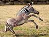 grevy zebra artis BB2A2571 (j.a.kok) Tags: zebra grevyzebra grevy´szebra equusgrevyi equus artis animal zoogdier dier mammal herbivore afrika africa