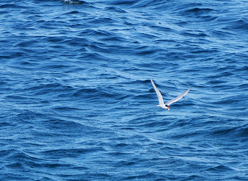 successful tern