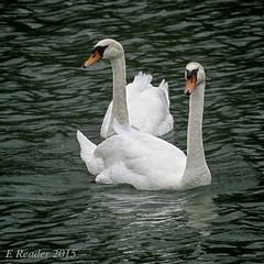 Swans on the Saone (Greatest Paka Photography) Tags: swan muteswan saoneriver rhoneriver water bird lyon france vosges burgundy flock europe chalonsursaone