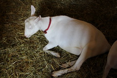 Goat (demeeschter) Tags: usa new york state fair syracuse city town attraction market games rides livestock animals farm food show