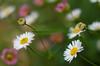 Forget-me-not (OzzRod) Tags: pentax k5iis industar61lzmc индустар61лз 50mmf28 lanthanum macro extensiontube uncropped bokeh plant flower forgetmenot dailyinoctober2017 lens