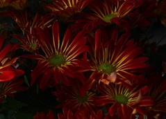 mums for fall (ranchodon) Tags: flowers mum garden nature colorful canon autumn ngc