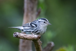 Black and White Warbler 082917a copy