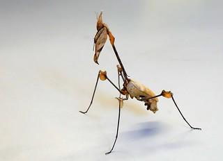 Wandelnde Geige (Gongylus gongylodes)