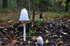 Mushrooms Inktzwam On - Explore (JaapCom) Tags: jaapcom mushroom fungus fungi fall woods autumn herbst herfst natural wezepsche heide groep groepen wezep veluwe holland explore inktzwam paddestoel nature zwam tree toadstool find forrest leaf
