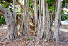 dsc01580 (space lama) Tags: moretonbayfig banyan tree roots