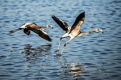 Flamencos juveniles iniciando el vuelo ( Phoenicopterus ruber)III (Esmerejon) Tags: flamencosjuvenilesiniciandoelvuelophoenicopterusroseusfotografíarealizadaeldía7deoctubrede2017 enlasmarismasdelodiel huelva limicolas aves juveniles naturaleza pájaros grandes