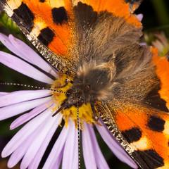 small tortoiseshell (Antti Tassberg) Tags: perhonen bokeh kenko luonto macro kukka hyönteinen nokkosperhonen aglaisurticae bug butterfly flower insect nature smalltortoiseshell