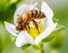 you beauty (I was blind now I see!) Tags: bee strawberry flower botanical macro closeup pollen pollinating flowers flowering insect flyinginsect whiteflower stamen
