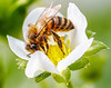 you beauty (Paul Wrights Reserved) Tags: bee strawberry flower botanical macro closeup pollen pollinating flowers flowering insect flyinginsect whiteflower stamen