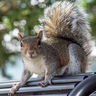 Iconic squirrel, Central Park, New York.