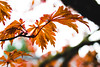 (Joshuaww) Tags: joshuaww portland acer architecture background branches cloudy design inspiration japanese leaves maples orange oregon palmaris peace peaceful peacefull photography rainy red relax screensaver serene serenity sticks trees weather wood yellow