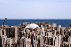nesting seagull (Tatterededges) Tags: seagulls birds nest chicks princesspier water seascape outdoors