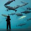 little fish (Marc McDermott) Tags: ålesund norway atlanterhavsparken aquarium boy young toddler silhouette fish blue child sigma 35mm f14 dg hsm art