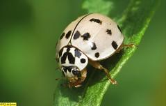 Olla v-nigrum (F.J.De Jesus) Tags: olla vnigrum ollavnigrum joaninha coccinellini coccinellinae cucujoidea polyphaga ashygrayladybeetle ashygray ladybeetle