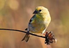 American goldfinch eating ox-eye seeds at Decorah Prairie IA 854A0532 (lreis_naturalist) Tags: american goldfinch eating oxeye seeds decorah prairie winneshiek county iowa larry reis