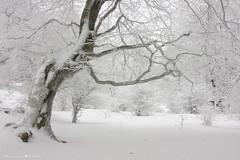 Ice Age (Hector Prada) Tags: bosque hielo cencellada invierno niebla árbol helado nieve ensueño 40d forest fog mist ice frozen winter dreamy snow magic morning