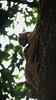 Sunda colugos (Galeopterus variegatus) mating (OttoB-C) Tags: sunda colugo flying lemur galeopterus variegatus perhentian island mating