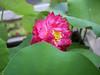 Nelumbo nucifera 'Red Narita' Lotus 001 (Klong15 Waterlily) Tags: rednarita lotus scaredlotus nelumbo nelumbonucifera redlotus lotusthai thailotus