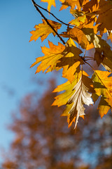 Autumn Maple Leves (AudioClassic) Tags: colors autumn colorimage variation nopeople plant abstract leaf nature macro red fullframe pattern textured vertical closeup season saturatedcolor symbol mapletree tree outdoors mapleleaf largegroupofobjects beautyinnature changingcolor collection ornate goldcolored backgrounds multicolored yellow orangecolor vibrantcolor wallpaperpattern