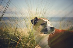 40/52 Sunday morning (Jutta Bauer) Tags: october autumn breeze morninglight morning grass beach pitbullmix boxermix dog excellentedgar edgar 52weeksforedgar 52weeksfordogs