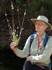 *Polypogon monspeliensis ANNUAL BEARD GRASS/RABBITFOOT GRASS (openspacer) Tags: diane jasperridgebiologicalpreserve jrbp nonnative people poaceae polygon rabbitfootgrass riparian