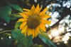 Sunflower (A Great Capture) Tags: 2017 summertime summer agreatcapture agc wwwagreatcapturecom adjm ash2276 ashleylduffus ald mobilejay jamesmitchell toronto on ontario canada canadian photographer northamerica highpark flower sunflower garden jardin fleur bokeh