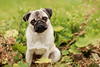 Myles at 11 Months (*DollyLove*) Tags: pug dog puppy bokeh canon 85mm 12 5d markiv cute love autumn leaves plants garden