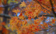 Dressed in Fall Colors (Violet aka vbd) Tags: pentax k3 vbd smcpentaxda55300mmf458ed ct connecticut fall newengland leaves fallcolor autumn japanesemaple 2016 fall2016 handheld leaf