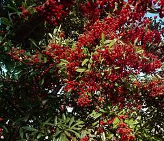 20171010_094043—Pyracantha coccinea—Berkeley—DxO (John Rusk) Tags: dxofilmpack dxofujivelvia50preset taxonomy:kingdom=plantae plantae taxonomy:subkingdom=tracheophyta tracheophyta taxonomy:phylum=magnoliophyta magnoliophyta taxonomy:class=magnoliopsida magnoliopsida taxonomy:order=rosales rosales taxonomy:family=rosaceae rosaceae taxonomy:genus=pyracantha pyracantha taxonomy:species=coccinea taxonomy:binomial=pyracanthacoccinea scarletfirethorn firethorn トキワサンザシ buissonardent agazzino espinodefuego pingüica piracanto pyracanthacoccinea taxonomy:common=scarletfirethorn taxonomy:common=firethorn taxonomy:common=トキワサンザシ taxonomy:common=buissonardent taxonomy:common=agazzino taxonomy:common=espinodefuego taxonomy:common=pingüica taxonomy:common=piracanto