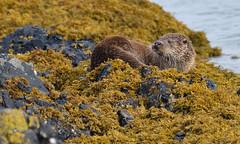 Otter (KHR Images) Tags: otter lutralutra eurasianotter wild mammal isleofmull innerhebrides scotland wildlife nature kelp seaweed nikon d500 kevinrobson khrimages