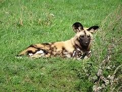 Painted Dog (LadyRaptor) Tags: yorkshirewildlifepark yorkshire wildlife park doncaster ywp nature outdoors woodland autumn sun sunny grass resting tired sleepy relaxing cute animal animals canidae canine canines pack african wild hunting painted dog dogs lycaonpictus