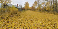The Road of Yellow Leaves (Jyrki Liikanen) Tags: fallcolors fall fallingleaves fallcolor leaf leaves foliage road lonely cottage cabin summercottage autumn yellow yellowleaf yellowleaves nature naturephotography naturephenomenon nikon nikonphotography nikond850 wideangle finland kalajoki tree aspen building sky landscape grass field