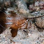 Peacock Razorfish, juvenile - Iniistius pavo thumbnail
