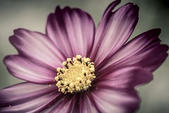 Pollen Cosmos (m@t.) Tags: 7dwf tamron90 pollen flower cosmos lightroom sliderssunday hss